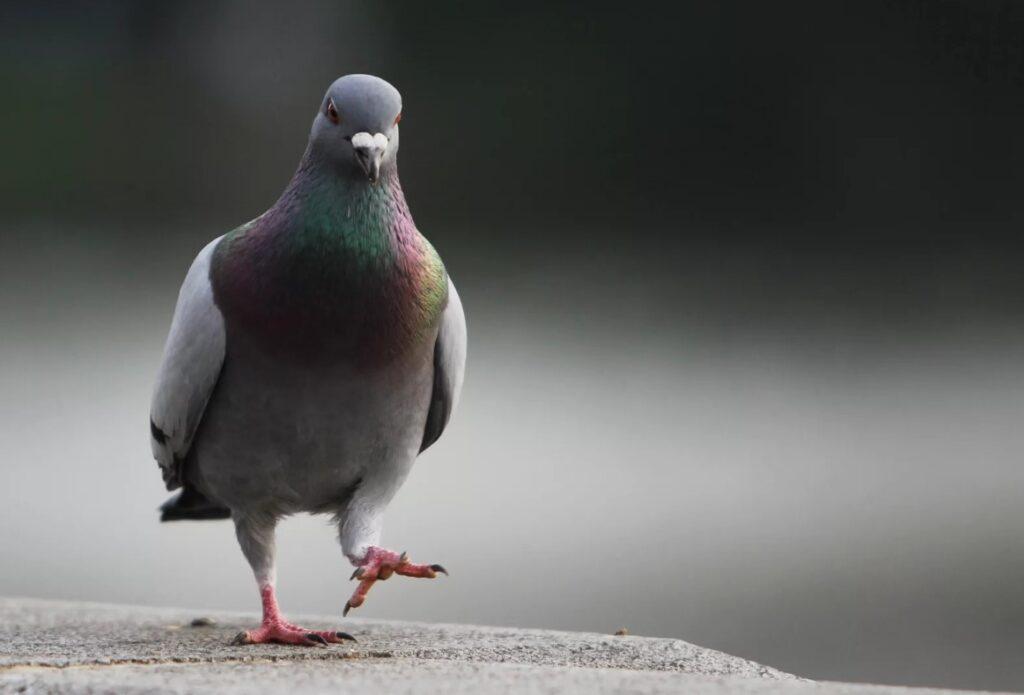 У вас тут голубь ходит…
